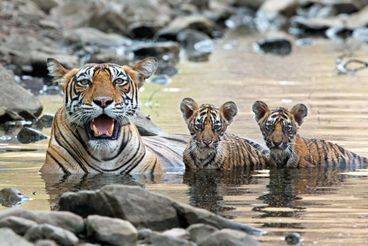 Save Bengal Tiger Habitat ! PLEASE SIGN ! ! - Care2 News Network