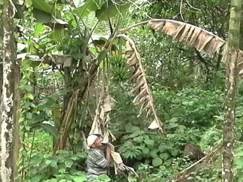 Agroforestry: A Sustainable Tropical Island Land Use System - Food Crops