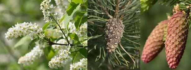 Kuvahaun tulos haulle puu valkoinen kukka