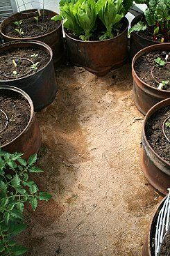 Dirt filled barrels with no bottoms act as a raised bed.  The sand filled floor helps create moisture in the greenhouse and is a comfortable surface that is easy to clean with a rake.