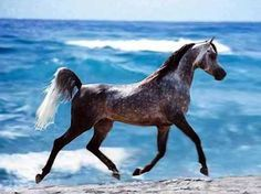 Arabian horse with stunning blue water waves in background.