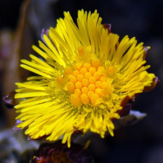 Coltsfoot Inflorescence flower in bright yellow.jpg