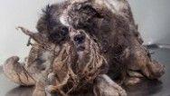 Increíble transformación de un perro vagabundo rescatado en Canadá  Este es Rasta. Al menos así es como lo llamaron en la Sociedad Protectora de Animales de Quebec (Société Protectrice des Animaux de Québec, SPA) cuando lo rescataron. Rasta fue llevado a las SPA después de ser hallado en un área boscosa. Denys Pelletier, director general de SPA, le dijo a HLN que este perro shih tzu tenía cerca de 10 años de edad al momento...