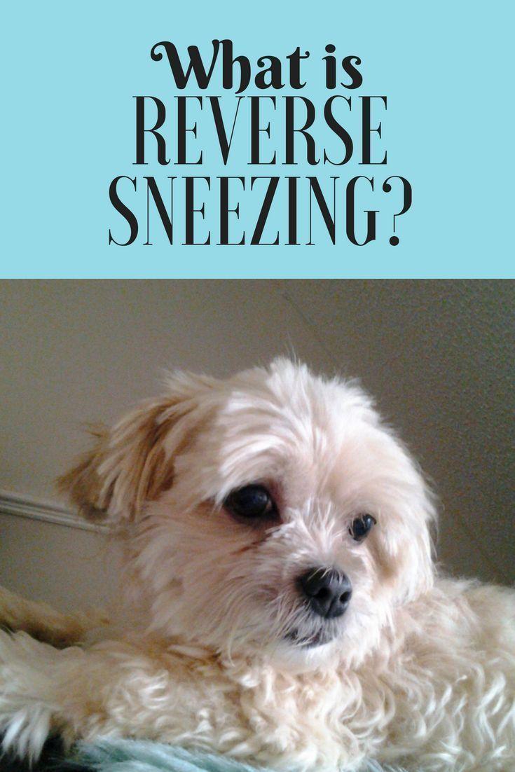 Reverse Sneezing In Dogs Is It Dangerous Reverse Sneezing In