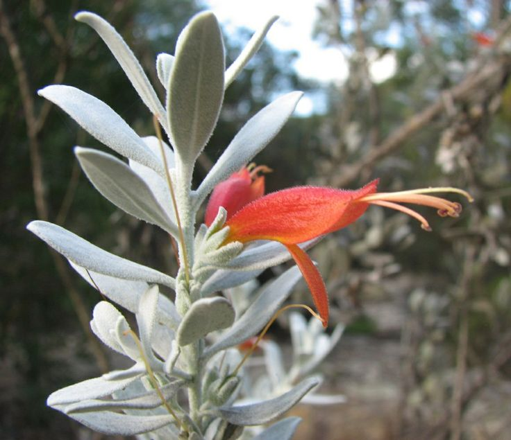 Tar Bush (Eremophila glabra) Has green, yellow, orange or brown flowers between Autumn and Summer. There is a number of subspecies.