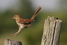 Brown Thrasher        (photo by naturelover2007)