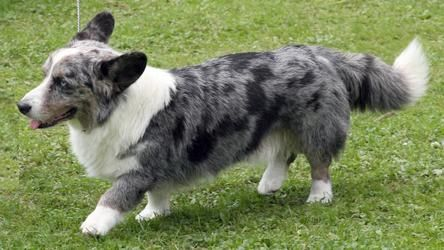 Blue Merle Pembroke Corgi-----beautiful Colwyn with the freckled ears.  Was so gentle he allowed the three cats to sit on his back and knead.  You are so missed, darling boy.