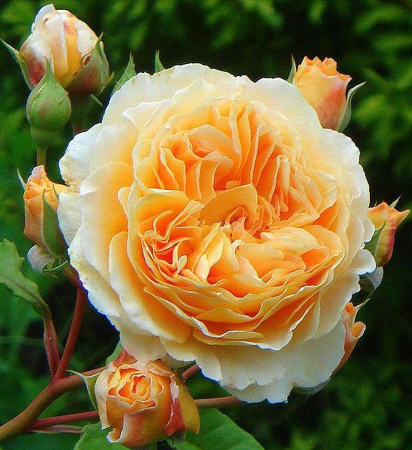 Apricot Mille-Feuille #fiori