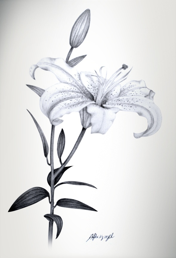 Botanical Illustration (Lily) see more: http://society6.com/analulouise www.lojalouis.com.br