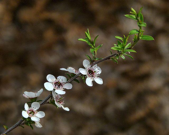 Manuka or Tea Tree | Flickr - Sid Model