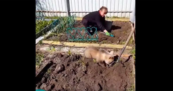 В Сети появилось забавное видеос пушистым помощником, копающем грядки под картошку.