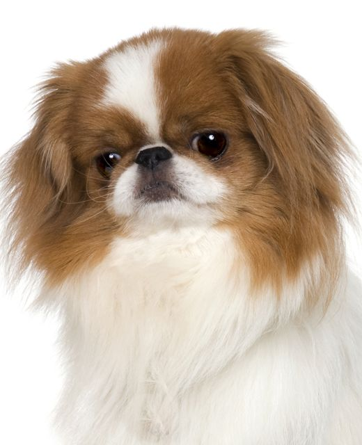 Sable Japanese Chin -- just beautiful!
