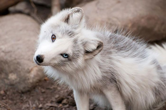 26 Unusual and Amazingly Cute Animals With Different Colored Eyes That Will Melt Your Heart