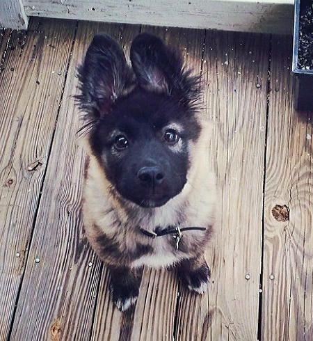 The Daily Puppy Nova the German Shepherd Mix
