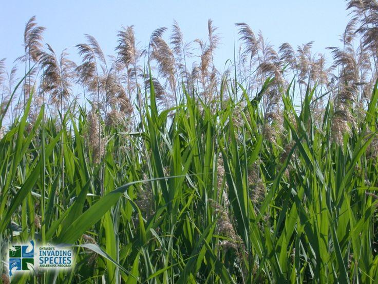 Phragmites australis is Canada's worst invasive plant ...