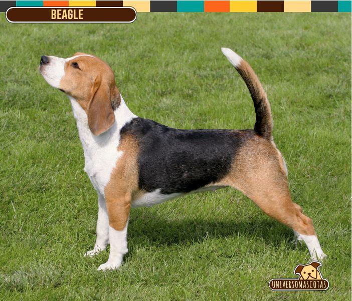 Origen: Reino Unido Tamaño: Mediano, aprox. de 33 a 40 cm. Conoce más de esta raza en: http://www.universomascotas.co/razas/perros/beagle/98