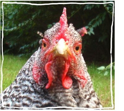 Br/brown Egg Laying Chicken Breeds For Sale