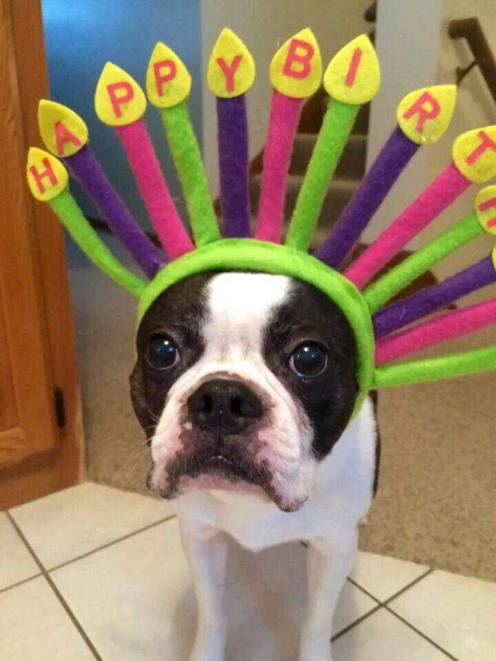 Happy Birthday Boston Terrier! I need to this for my baby Mr.Meaty on his birthday!
