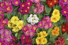 primrose some shade, can plant from seed indoors or cuttings, put in pots with bulbs, space at least 6in apart, long bloom season