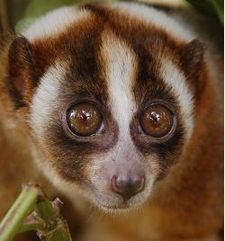 #Disgustingthingsppldo  #LORIS  #pettrade  Slow loris' sleep in the day and as zoo animals, their sleep is often interrupted. This affects their health and is cruel! Read of pet trade of lorises here! http://primatesnotpets.tumblr.com/post/30181705941/slow-loris-pet-trade-horror-story