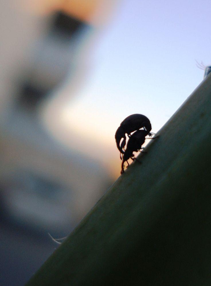 lovelife of Curculionidae (snout beetles)