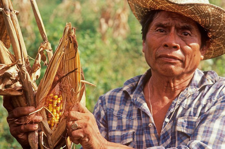 mayan indians | Mayan Indian farmer picking corn | http://placephotography ...