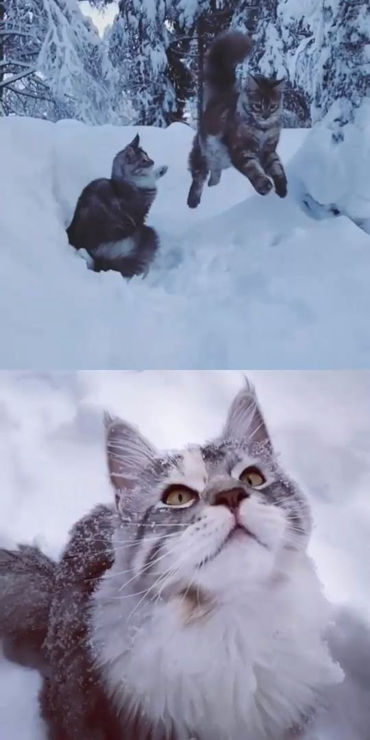 Two Maine Coon Cats Playing In The Snow ❄