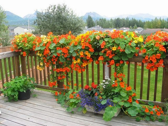 Glorious nasturtiums by JiminOR on Flickr.... love nasturtiums and love how they look in planting boxes on this deck....
