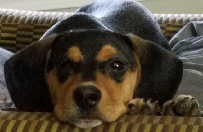 10 Exhilarating Beagles Make Great Pets Ideas Beagle Mix