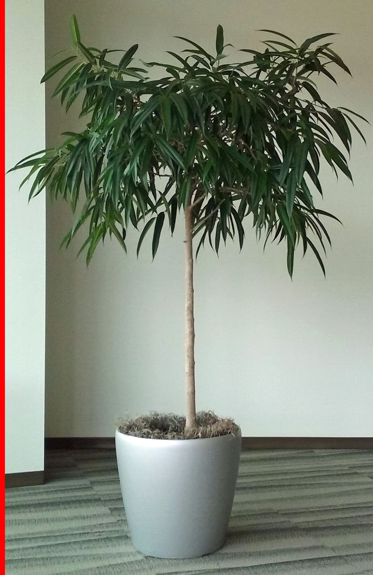 This indoor plant is a Ficus Alii Standard. It is related to the Weeping Fig
