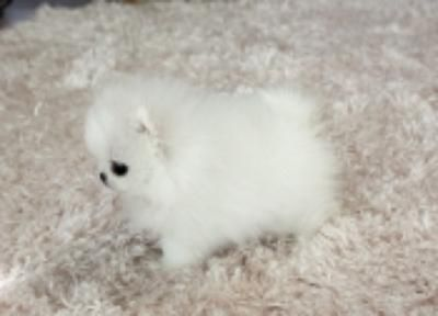 Pomeranian Puppies For Free | Adorable Pomeranian Puppies For Free Adoption, Oscoda, MI ...