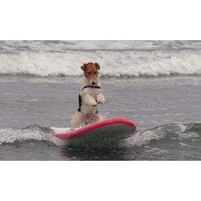 Check out this daredevil of a wirehair fox terrier!!! I wonder if my Daisy dog would be so daring!! So darned cute!