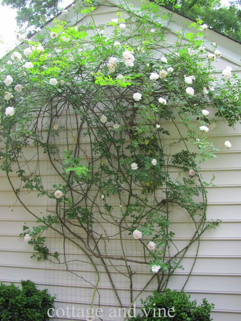 DIY Trellis; companion photo from Cottage and Vine.  I could do this on the front porch.