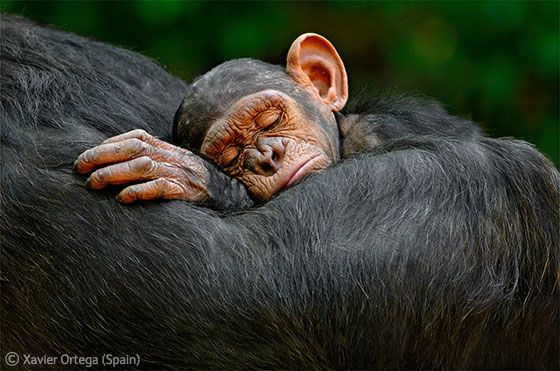 Xavier Ortega (Spain)    Sleeping infant    Trekking through the forests of Mahale Mountains National Park in Tanzania, Xavier could hear the small band of chimpanzees moving ahead through the trees. 'After a couple of hours,' says Xavier, 'I walked into a glade and there they all were.' He sat down, trying not to make any movement, so the group didn't feel threatened. Though they were used to researchers following them, they were not familiar with him.Chimpanzee, Monkeys, Sleep Infants,  Chimp,  Pan Troglodyte, National Parks, Wildlife Photographers, Xavier Ortega, Animal