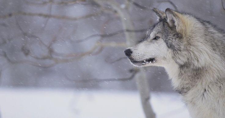 wolf winter wallpaper hd 4k ultra hd wallpaper Grey wolf