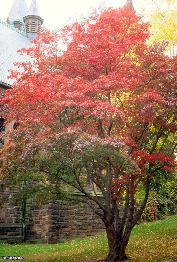 Japanese Maple (Acer Palmatum) ~ Ideas For My Plant Zone (love Maples Always Such Great Color ...