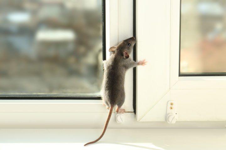 Can Rats Climb Walls Insect Cop In 2020 Natural Rodent Repellant Plants That Repel Ants Rodent Repellent