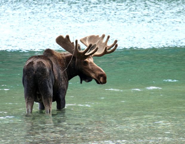 Just like the moose themselves, antlers can come in different sizes. The paddles are essentially a big bone, so they generally weigh quite a bit; bulls develop muscular necks to help hold up the enormous paddles. A full grown moose's antlers can weigh about 40 pounds. - 10 Gigantic Facts About Moose | Mental Floss