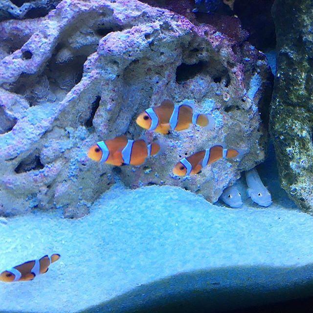 【captain_teru】さんのInstagramをピンしています。 《anemone familly #anemone#anemonefish#coral#reef#tropical#chillout#sea#marine#blue#earth#nature#nimo#aquarium#marineaquarium#heal#water#ocean#dive#love#instagood#insta#life#カクレクマノミ#海#海水魚#アクアリウム#aqua#サンゴ#redseamax》