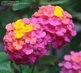 orange lantana flower lantana flower plant pink lantana flower