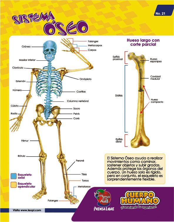 Doki sistema oseo para colorear - Imagui | urgencias | Pinterest