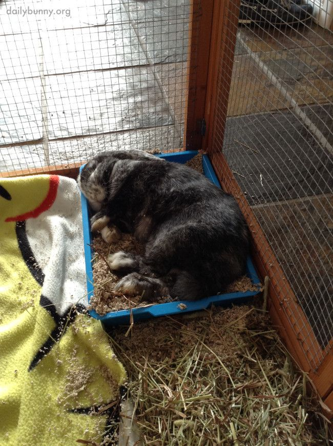 Bunny Snoozes in Her Litter Box