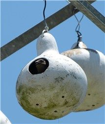 Purple Martin at home, South Carolina: Purple Martins