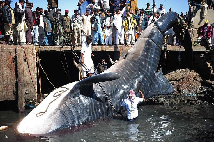 Karachi, Pakistan — Pakistani fishermen use cranes to pull the carcass of a whale shark from the water. The 40-foot fish, weighing about 6 to 7 tons, was found dead in the Arabian Sea.