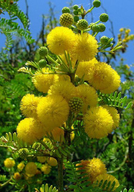 Fleur de mimosa une fleur de remplis de bohneur