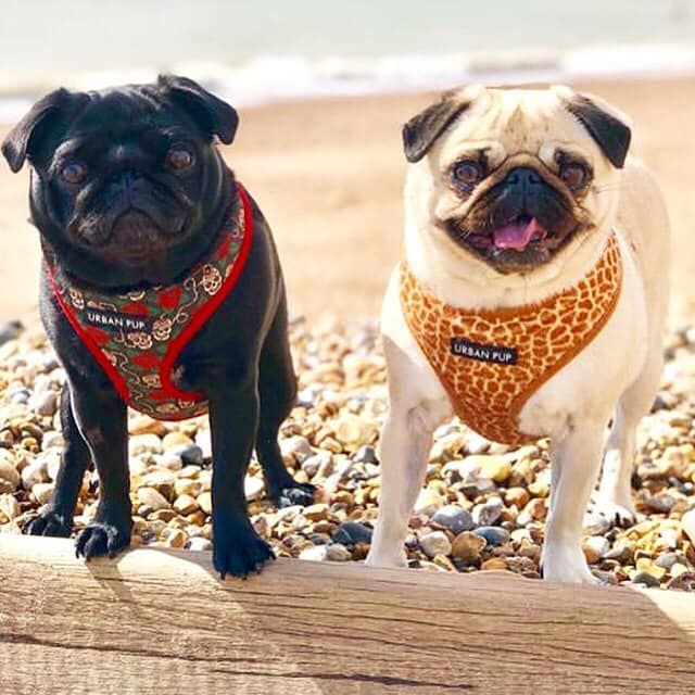 Urban Pup Soft Harnesses Available At Www Ilovepugs Co Uk Sizes S