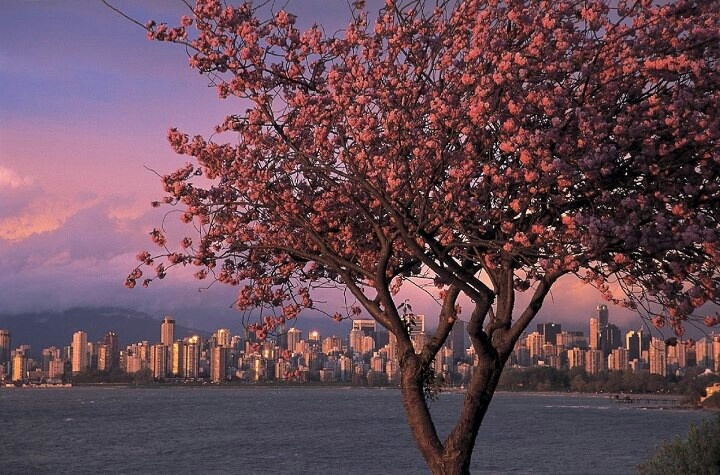 Cherry Blossoms Overlooking English Bay Vancouver Explorebc Cherry Blossom Festival Cherry Blossom Vancouver Skyline