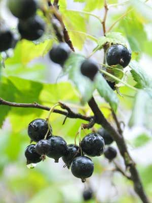 Blackcurrant, grow guide from growveg.com, I have just planted 3 of these and am hoping for fruit in a couple of years...