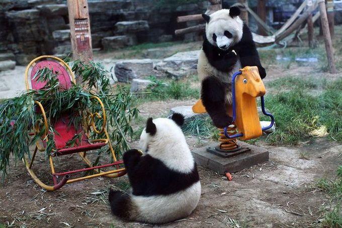 Гигантские панды в Пекинском зоопарке (Интернет-журнал ETODAY)