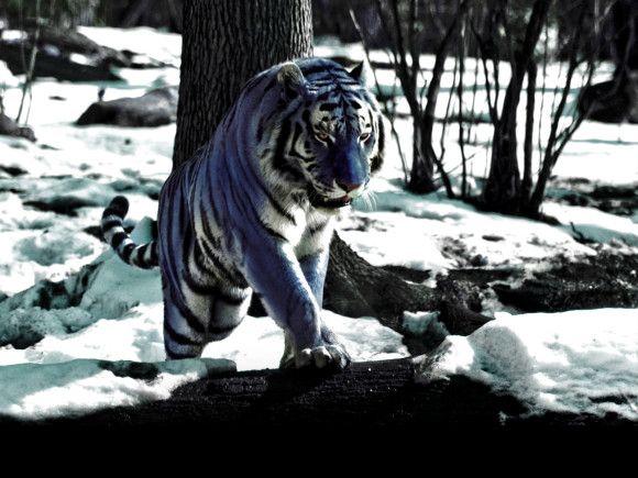 El tigre maltés… ¿Existen los tigres azules?   naturaleza asombrosa   La Aldea Irreductible